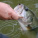 fisherman holding  large mouth bass for release closeup